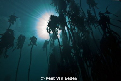Kelp forest, with visibility of even the clouds overhead by Peet Van Eeden 
